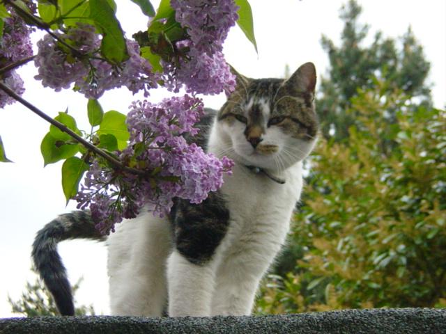 gato do vizinho com lilaz 2
